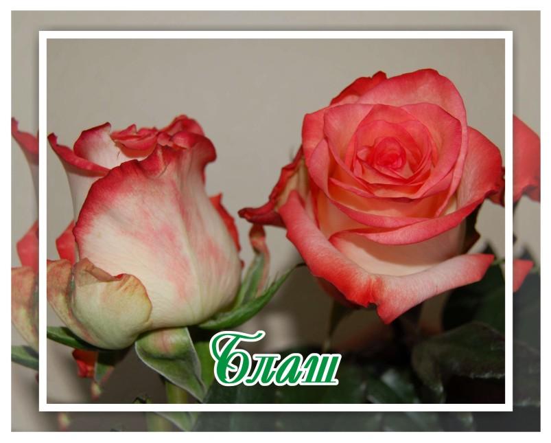 картинки корней розы